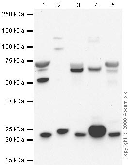 Western blot - Anti-Oligodendrocyte Specific Protein antibody - Oligodendrocyte Marker (ab64369)