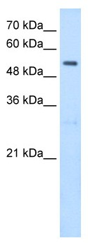 Western blot - Anti-SHMT2 antibody (ab64417)