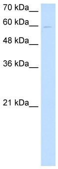 Western blot - Anti-nephronectin antibody (ab64419)