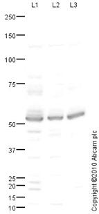 Western blot - Anti-Ajuba antibody (ab64451)