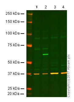 Western blot - Anti-Firefly Luciferase antibody [3i1] (ab64564)