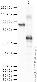 Western blot - Anti-MEF2A + MEF2C antibody (ab64644)