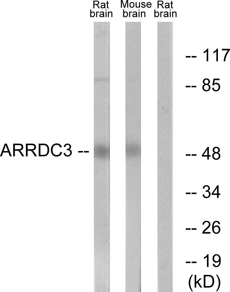Western blot - Anti-ARRDC3 antibody (ab64817)