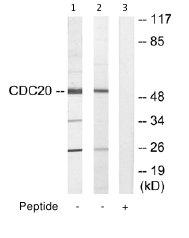 Western blot - Anti-Cdc20 antibody (ab64877)