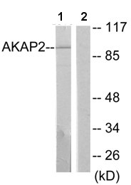 Western blot - Anti-AKAP2 antibody (ab64904)