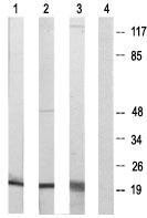 Western blot - Anti-Cyclophilin F antibody (ab64935)