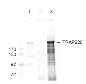 Immunoprecipitation - Anti-TRAP220/MED1 antibody (ab64965)