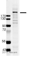 Western blot - Anti-TRAP220/MED1 antibody (ab64965)