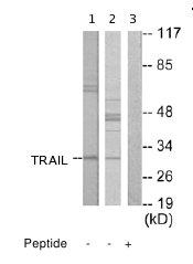 Western blot - Anti-TRAIL antibody (ab65121)