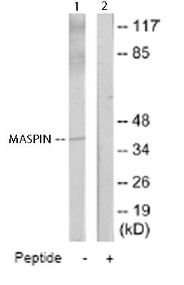Western blot - Anti-MASPIN antibody (ab65136)