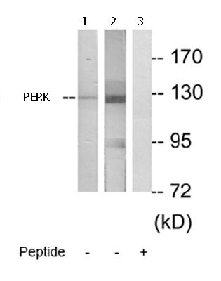 Western blot - Anti-PERK antibody (ab65142)
