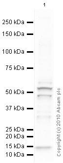 Western blot - Presenilin 1 antibody (ab65293)