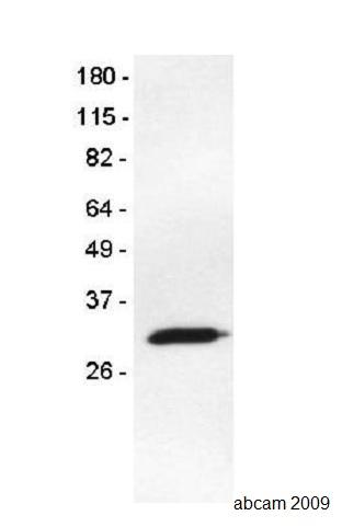 Western blot - Anti-RFP antibody [25] (ab65856)