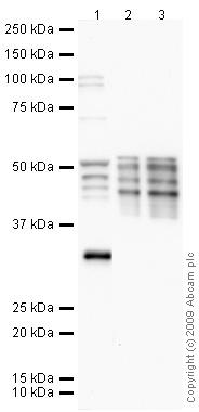 Western blot - Anti-LOX 1 antibody (ab65864)