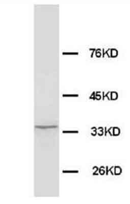 Western blot - Anti-Morg1 antibody - Aminoterminal end (ab65870)