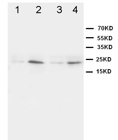 Western blot - Anti-HMGB4 antibody (ab65980)
