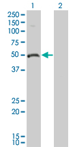 Western blot - Ornithine Decarboxylase antibody (ab66067)