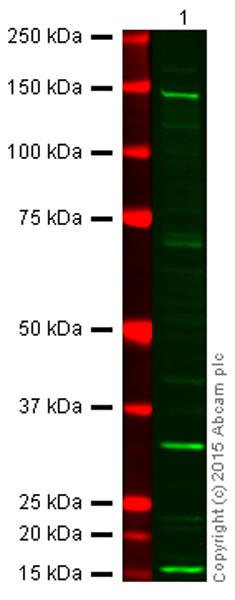 Western blot - Anti-eNOS antibody (ab66127)