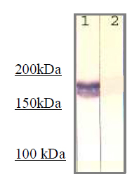 Immunoprecipitation - Anti-IRS1 (phospho Y612) antibody (ab66153)