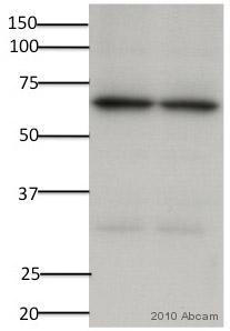 Western blot - Anti-Pyruvate Dehydrogenase E2 antibody (ab66511)