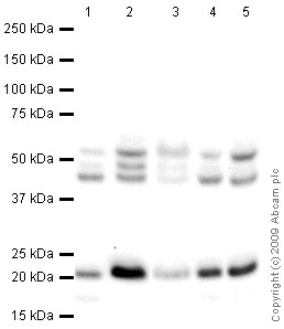 Western blot - CDC42 antibody (ab66573)