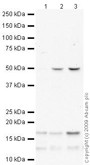 Western blot - Anti-p18 INK4c antibody (ab66748)