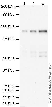 Western blot - Anti-C1r antibody (ab66751)