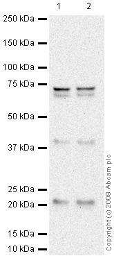 Western blot - Anti-ASF1A antibody (ab66754)