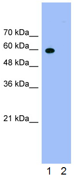 Western blot - Anti-HNRPLL antibody (ab66775)