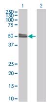 Western blot - Anti-HYPE antibody (ab67163)