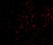 Immunocytochemistry/ Immunofluorescence-Anti-Plxdc2 antibody(ab67226)