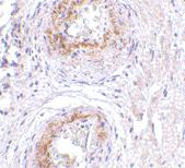 Immunohistochemistry (Formalin/PFA-fixed paraffin-embedded sections) - Anti-GPCR GPR124 antibody (ab67279)