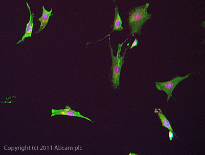 Immunocytochemistry/ Immunofluorescence - Anti-KA1 antibody (ab67404)