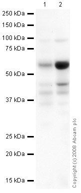 Western blot - CD4 antibody [mAb67480] (ab67480)