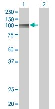Western blot - Anti-LILRB1 antibody (ab67532)