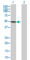 Western blot - Anti-ACTL7A antibody (ab67546)