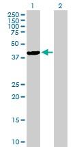 Western blot - Anti-TFB1M antibody (ab67558)