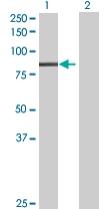 Western blot - Anti-PLK3 antibody (ab67922)