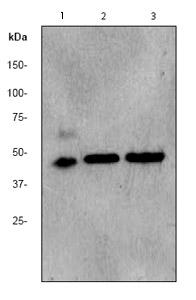 Western blot - Anti-PDK2 antibody [EPR1948Y] (ab68164)
