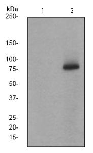 Western blot - Anti-BTK (phospho Y223) antibody [EP420Y] (ab68217)