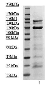 Western blot - Anti-JAK2 (phospho Y1007 + Y1008) antibody (ab68268)