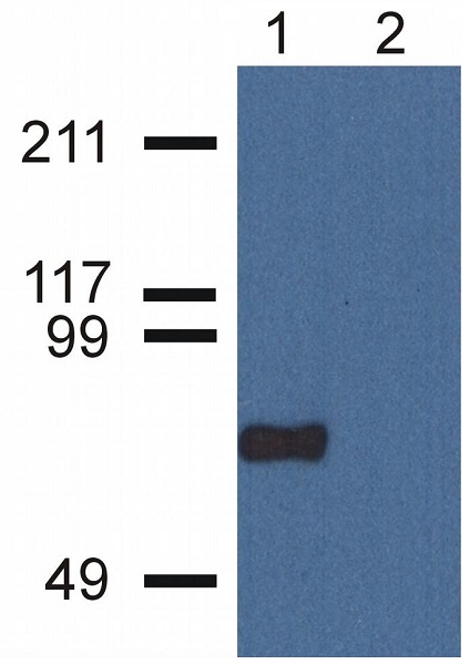 Western blot - Anti-CPNE7 antibody [CPNE7-01] (ab68547)