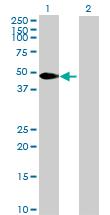 Western blot - Anti-PEG10 antibody (ab68780)
