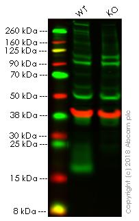 Western blot - Anti-CD59 antibody (ab69084)