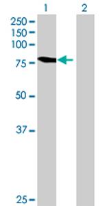 Western blot - Anti-C9orf3 antibody (ab69211)