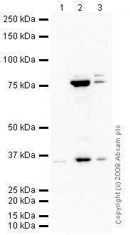 Western blot - Anti-Wnt9b antibody (ab69287)