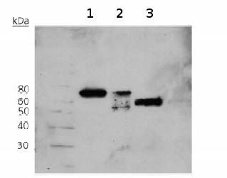 Western blot - Osteopontin antibody [53] (ab69498)