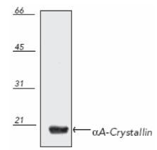 Western blot - Anti-alpha A Crystallin antibody (ab69552)