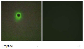 Immunocytochemistry/ Immunofluorescence - Anti-HIPK4 antibody (ab69565)