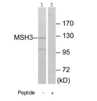 Western blot - Anti-MSH3 antibody (ab69619)